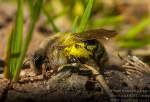 Cute Grey-backed Mining Bee - Andrena vaga by TheFunnySpider