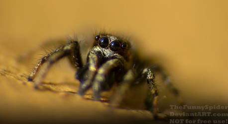 Cute Boy - Salticus scenicus by TheFunnySpider