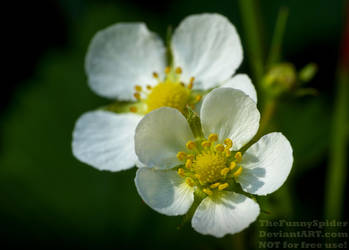 Woodland Strawberry Blossoms - Fragaria vesca by TheFunnySpider