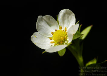Woodland Strawberry - Fragaria vesca by TheFunnySpider