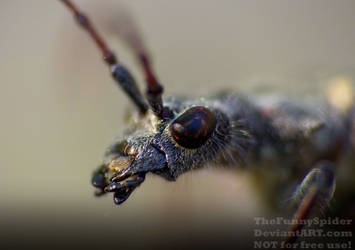 Two banded longhorn beetle - closeup by TheFunnySpider