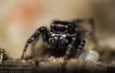 Calositticus inexpectus - found in our moor by TheFunnySpider