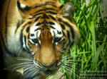 Siberian Tiger - Panthera tigris altaica by TheFunnySpider
