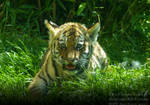 Adorable Tiger Cub - Portrait by TheFunnySpider