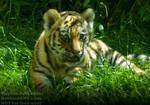 Siberian Tiger Cub - Portrait by TheFunnySpider