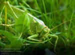 The great green bush cricket-Tettigonia viridissim by TheFunnySpider