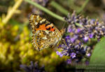 The painted lady - Cynthia cardui by TheFunnySpider