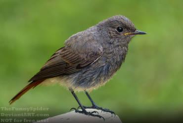 Black Redstart - Phoenicurus ochruros by TheFunnySpider