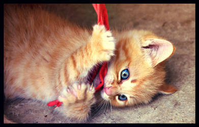 Kitten playing with ribbon