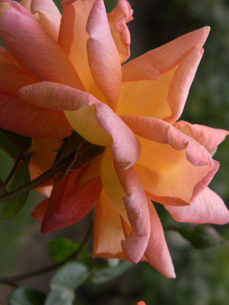 Rose by Poelee
