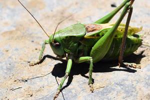 1138 Grasshopper by RealMantis