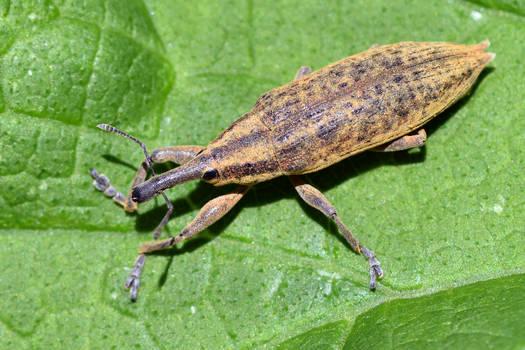 1787 Weevil
