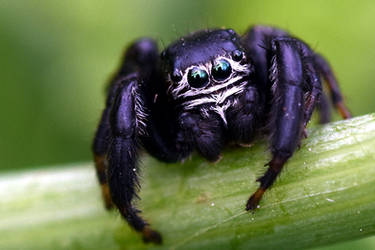 2125 Jumping spider by RealMantis