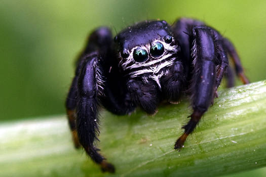 2125 Jumping spider