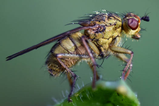 2410 Yellow dung fly