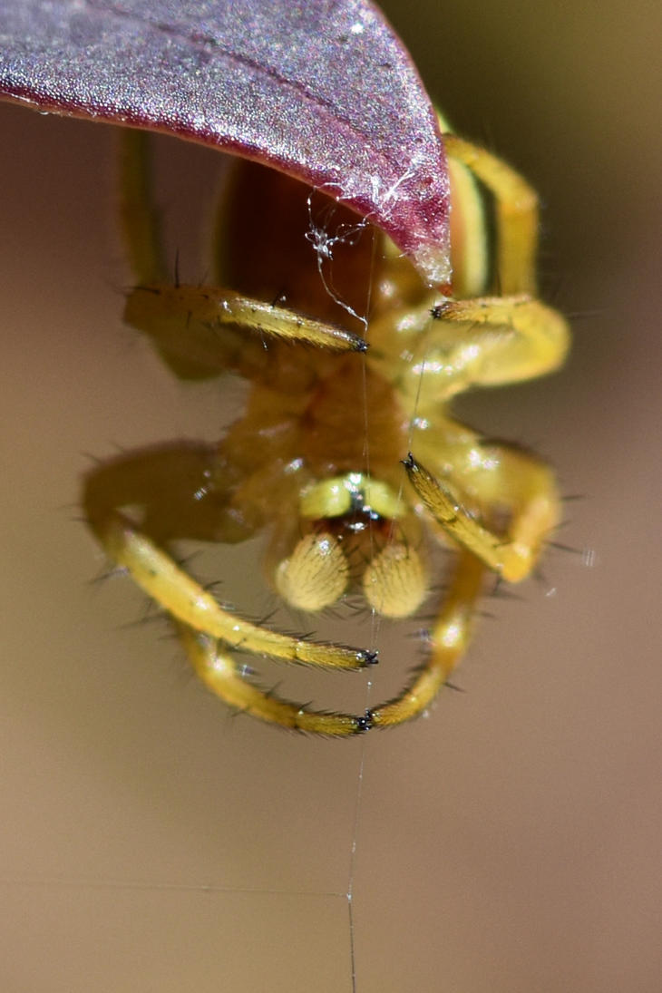 1812 A yellow spider weaving his web by RealMantis