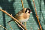 4711 Goldfinch