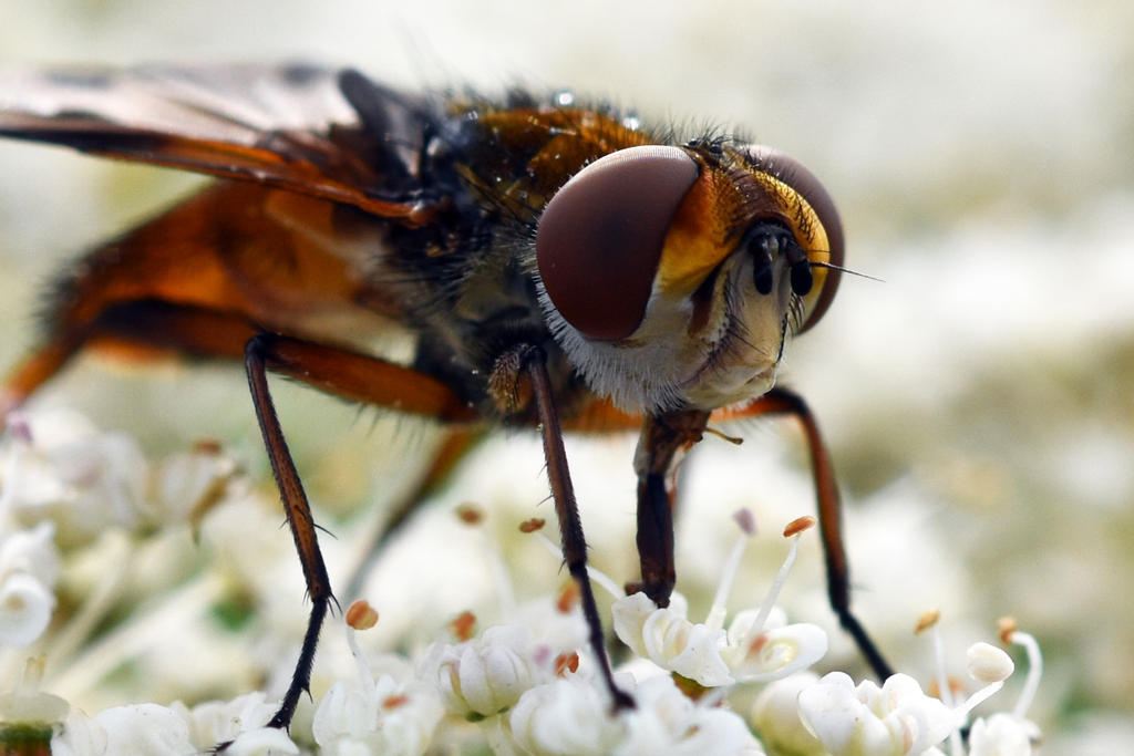 2233 Yellow dung fly by RealMantis
