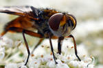 2233 Yellow dung fly