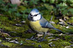 4674 Blue Tit on the ground by RealMantis