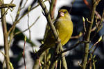 4729 Greenfinch