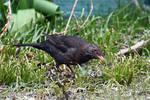 5432 Blackbird female