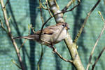 5669 Sparrow in the branches