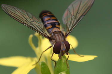 2613 Hoverfly by RealMantis