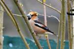 5872 Hawfinch / Big beak
