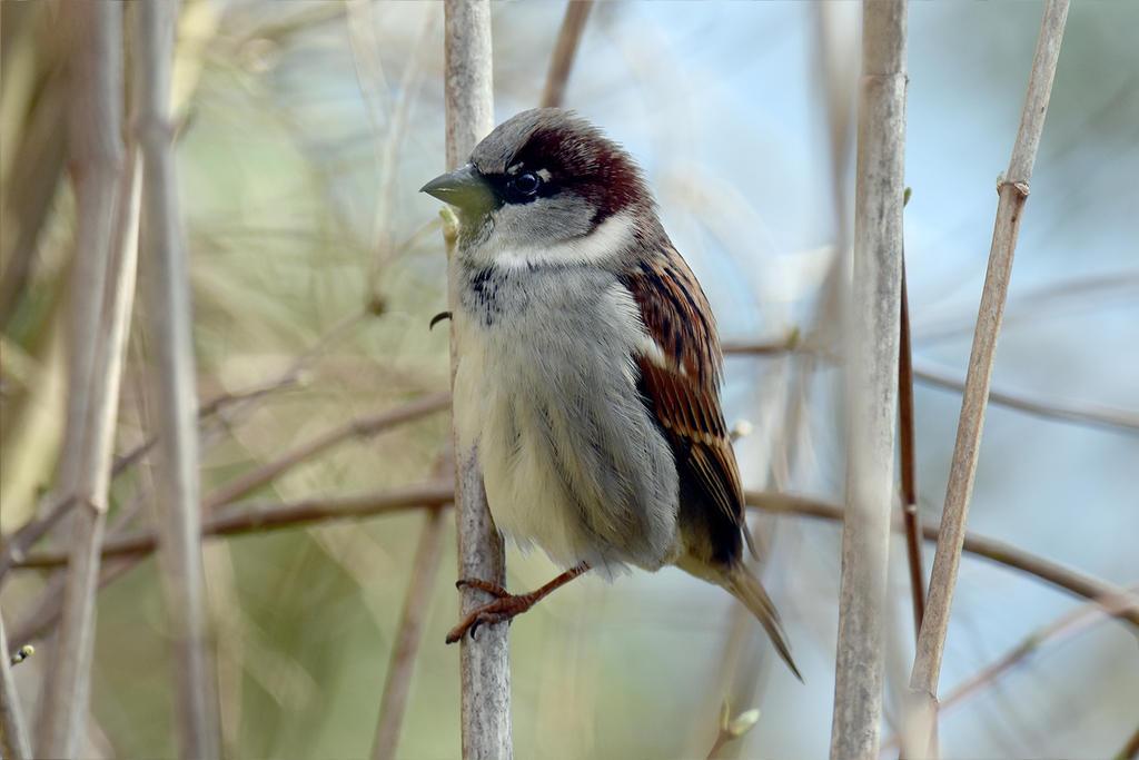 6093 Sparrow by RealMantis