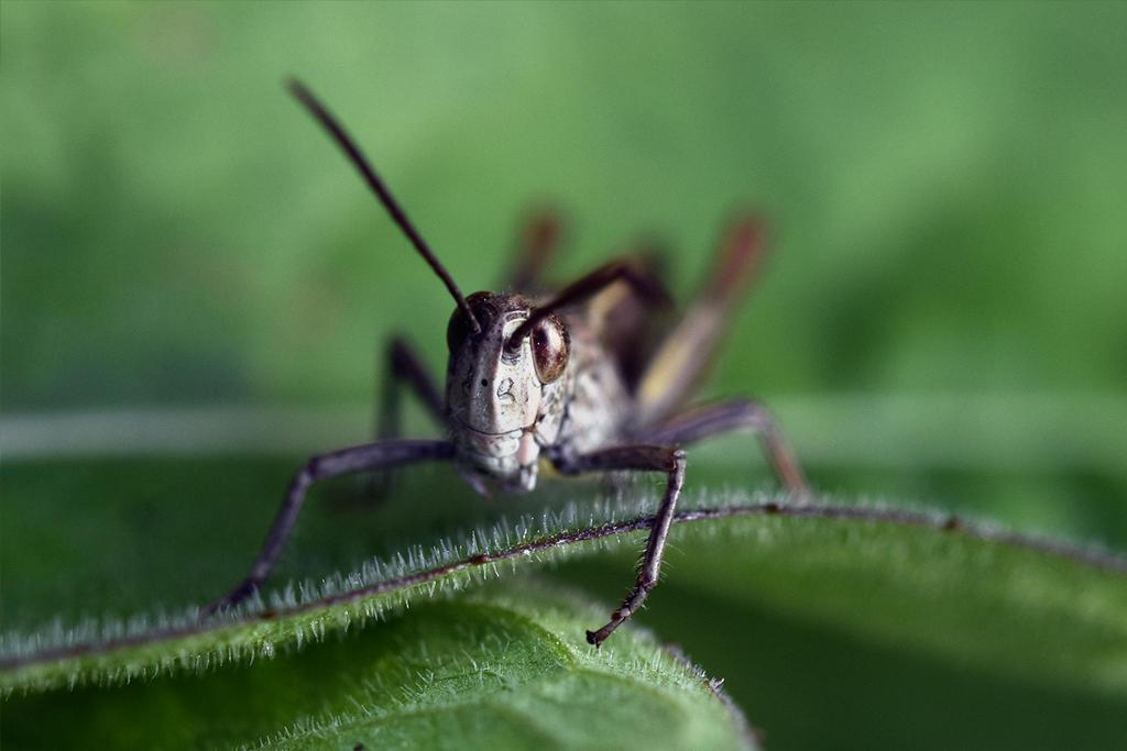 2386 Grasshopper by RealMantis