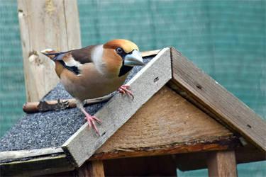 5880 Hawfinch / Big beak by RealMantis