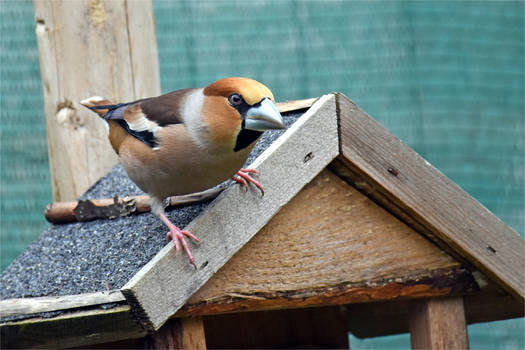 5880 Hawfinch / Big beak
