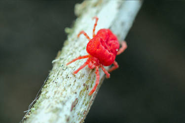 7581 Chigger (mite not a spider) by RealMantis
