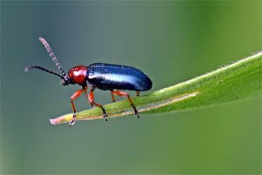 7181 Cereal Leaf Beetle by RealMantis