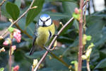 5573 Blue Tit on the tree branch