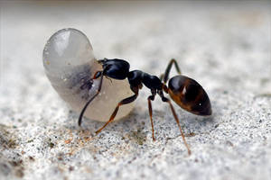 8627 Ant carrying a larva by RealMantis