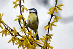 6942 Blue Tit among the yellow flowers