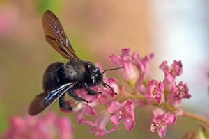 7381 Black Carpenter Bee by RealMantis