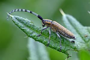 0014 Beautiful Longhorn Beetle by RealMantis