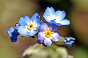 9110 Myosotis close up by RealMantis