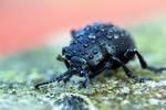 8105 Black beetle covered by rain