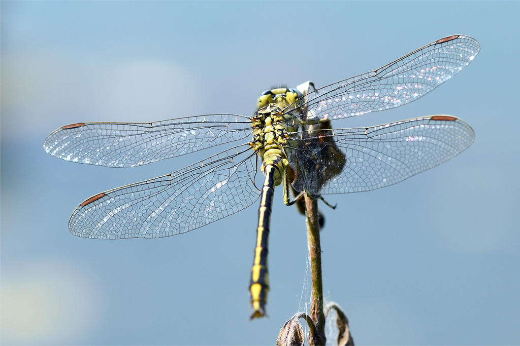 0322 Yellow dragonfly by RealMantis