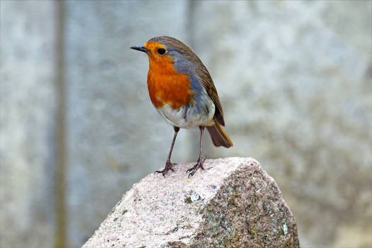 8154 Robin on the rock