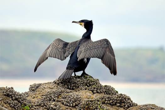 8563 Cormorant ready to fly