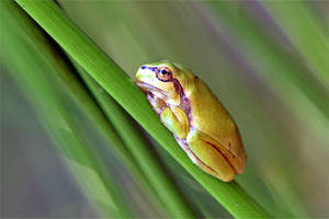 0514 Tree frog by RealMantis
