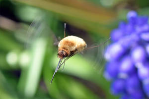 7059 Bee Fly (Bombylius) by RealMantis