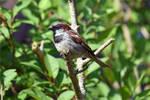 0095 Sparrow