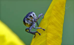 0549 Iris weevil by RealMantis