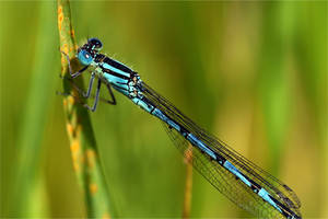 0965 Blue damselfly by RealMantis